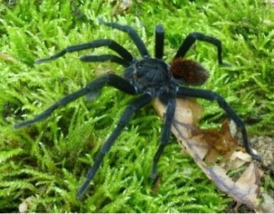 Новиот вид тарантула, именуван по Маркес